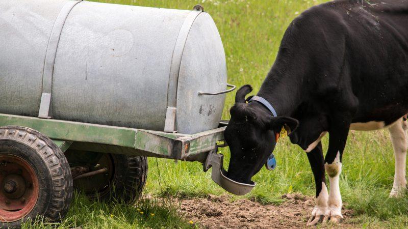 Wasserwagen und Kuh
